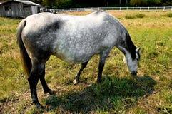 传种母马 免版税库存图片