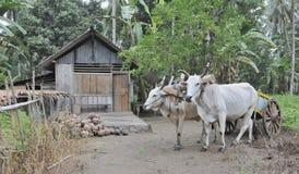 传统农业印度尼西亚的场面 免版税库存图片