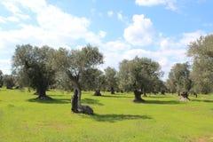 传统地中海风景:橄榄树和黄色花,春天 图库摄影
