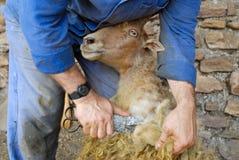 传统场面剪的绵羊 免版税库存照片
