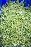传统大豆新芽的图象 库存图片