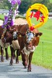 传统母牛仪式 免版税库存照片