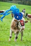 传统母牛仪式 免版税图库摄影