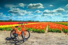 传统荷兰五颜六色的郁金香在阿姆斯特丹,荷兰,欧洲附近调遣 免版税图库摄影