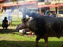 传统Toraja葬礼, Rantepao,塞利比斯,印度尼西亚 免版税库存图片
