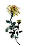 传统古老中国手画菊花 库存图片