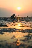 传统泰国帽子的人收集螃蟹在日落 免版税图库摄影