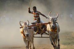传统牛车种族 免版税库存照片