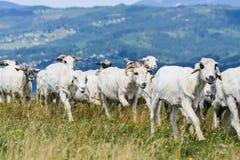 传统绵羊的羊毛生产 免版税库存图片