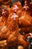 传统自由放养家禽养殖 免版税库存图片
