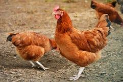 传统自由放养家禽养殖 图库摄影