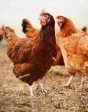传统自由放养家禽养殖 免版税图库摄影