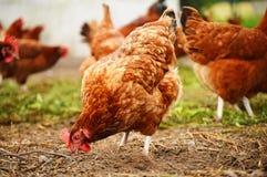传统自由放养家禽养殖 库存照片
