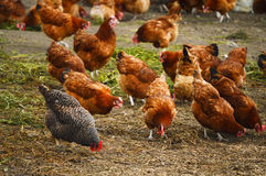 传统自由放养家禽养殖 库存图片