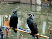 传统鸬鹚渔,上海 库存照片