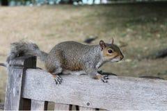 从伦敦的灰鼠 库存图片