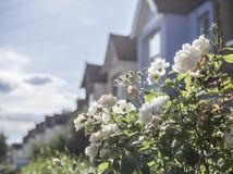 伦敦街道-白玫瑰 库存图片