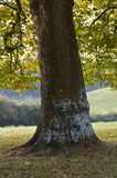 伦敦飞机树在秋天 免版税图库摄影