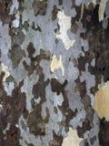 伦敦飞机树皮 库存照片