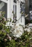 伦敦,一朵白色玫瑰街道  免版税图库摄影