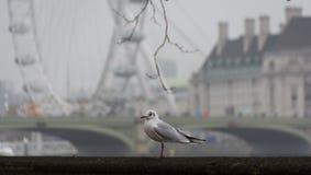 伦敦,英国- 2018年11月23日:在伦敦眼和威斯敏斯特桥梁背景的有薄雾的早晨海鸥  免版税图库摄影