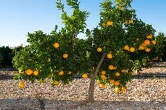 巴伦西亚桔树 库存照片
