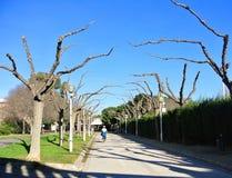 巴伦西亚,西班牙- 2016年1月31日:在Turia公园的新鲜的被修剪的树早午餐在艺术和科学城市附近从事园艺 库存照片