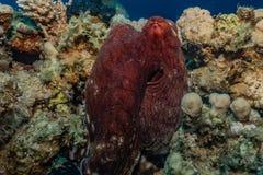 伪装的章鱼国王在红海 库存照片