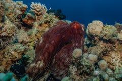伪装的章鱼国王在红海 库存图片