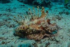 伪装的章鱼国王在红海 免版税库存照片