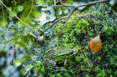伪装-在绿色青苔的池蛙 库存图片