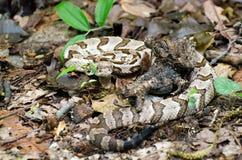 伪装Canebrake木材响尾蛇 库存照片