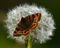 伯内特伴侣飞蛾Euclidia glyphica栖息 免版税库存照片