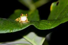 伯利兹红色眼睛雨蛙 免版税库存图片