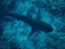 伯利兹蓝色漏洞鲨鱼 免版税库存照片