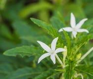 伯利恒(Laurentia l星特写镜头美丽的白花  库存图片
