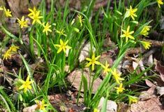 伯利恒gagea lutea星形黄色 免版税库存图片