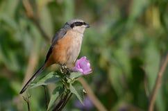 伯劳在与桃红色花的分支栖息 免版税库存图片