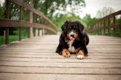 伯尔尼的山狗在桥梁放置 在背景的绿色结构树 库存图片