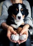 伯尔尼的山狗小的小狗在时兴的女孩的手上的有好的修指甲的 动物,时尚 图库摄影