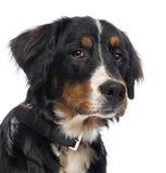 伯尔尼的山狗的特写镜头 免版税库存图片