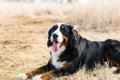 伯尔尼的山狗相当坐 免版税库存图片