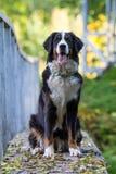 伯尔尼的山狗 免版税图库摄影