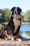 伯尔尼的山狗 免版税库存照片