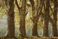 伯恩谷南非-秋天悬铃树 免版税库存图片