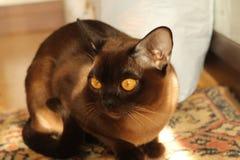 伯曼猫 库存照片