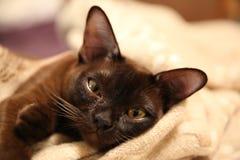 伯曼猫 库存图片