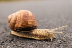 伯根地蜗牛(螺旋pomatia) 库存图片