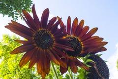 伯根地,装饰向日葵 免版税库存图片