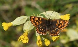 伯根地蝴蝶Hamearis lucina一位罕见的女性公爵在cowslip花樱草属veris栖息 免版税库存图片